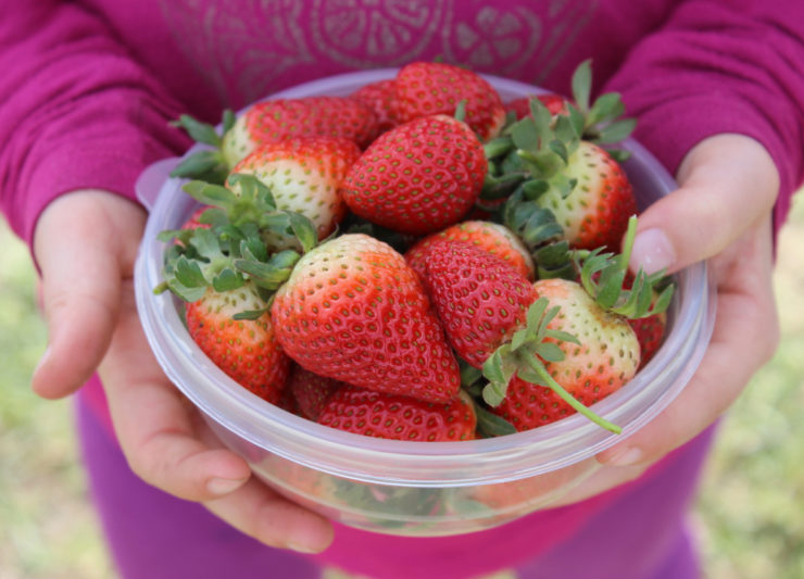 strawberry picking garden route