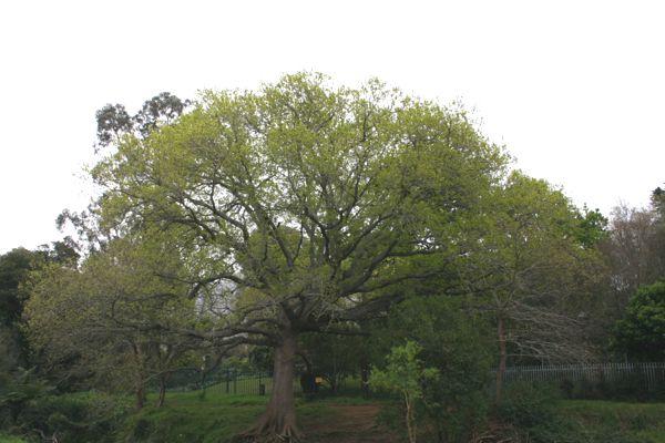 springgreenoak