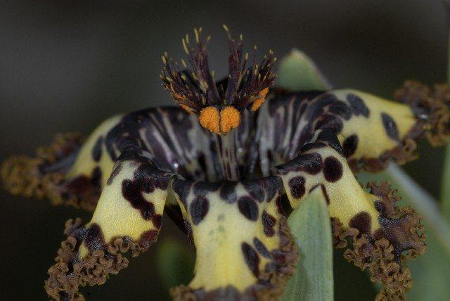 spinnerkop blom