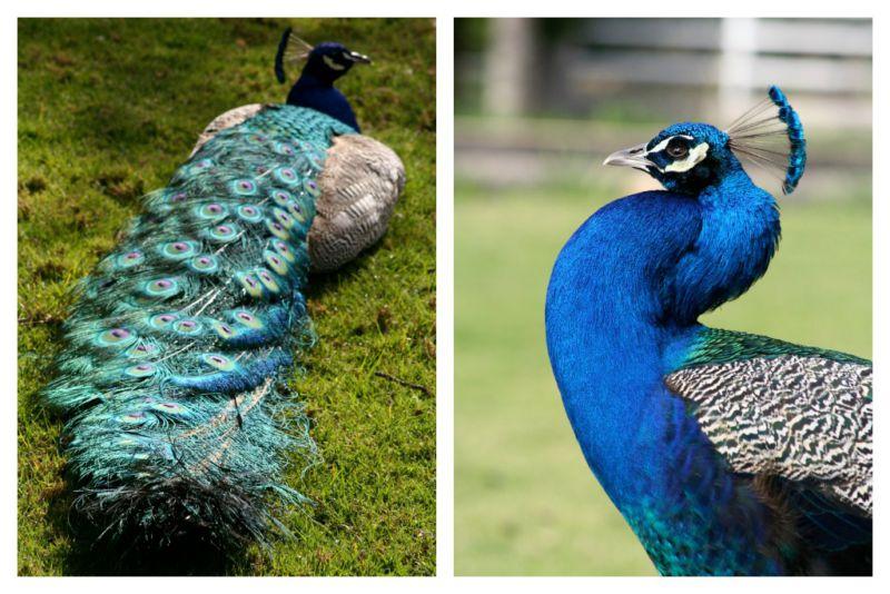 peacockblue