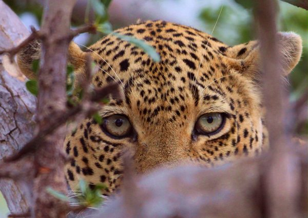 Close-up-leopard-600