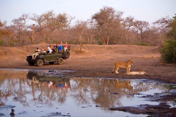 lioness-buffelsdam-drive-600