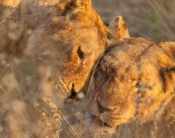 lioness-greet-600