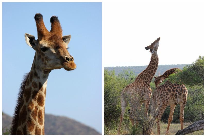 samara giraffe fight
