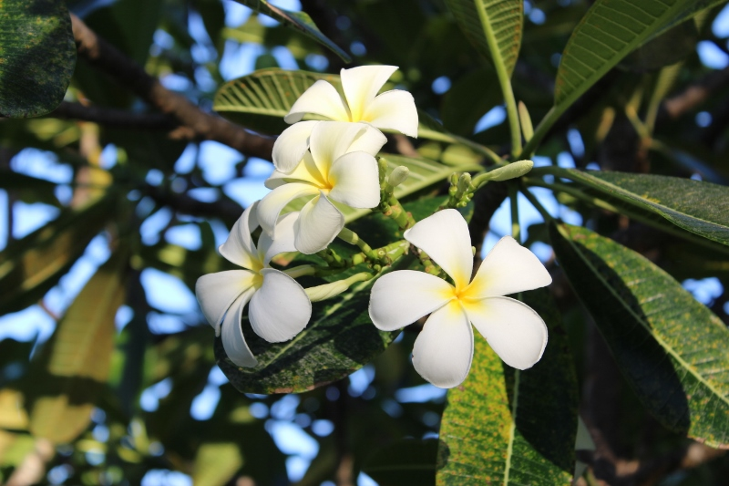 Frangipani flowers lining the pathway to our Melia Hotel room