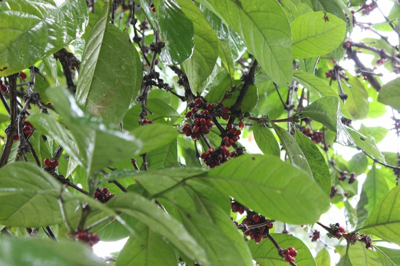Black pepper seeds on pepper tree