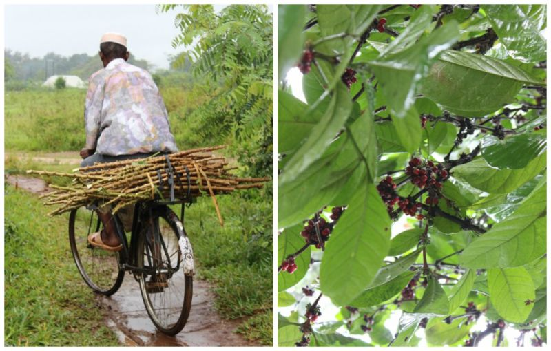 Local spice farm worker transporting turmeric roots