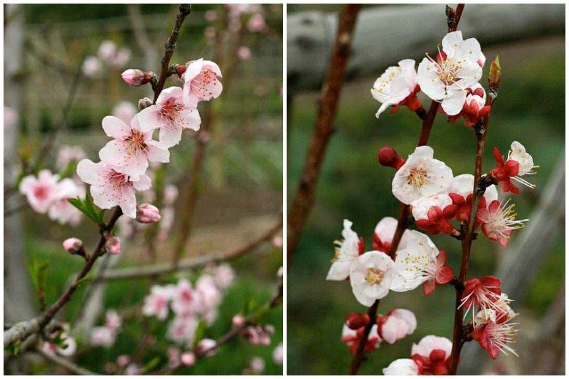 babylonstoren spring blossoms