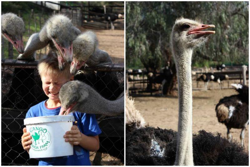 ostrich farm oudtshoorn