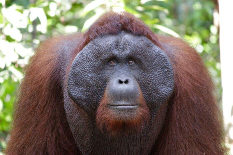 adult orangutan borneo