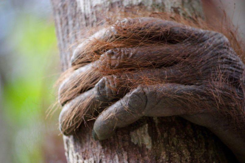 orangutan hand borneo