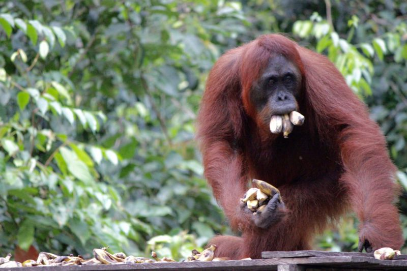 orangutan with mouth of bananas
