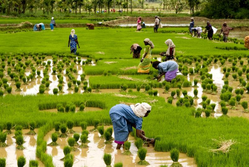 kerala-rice-paddies