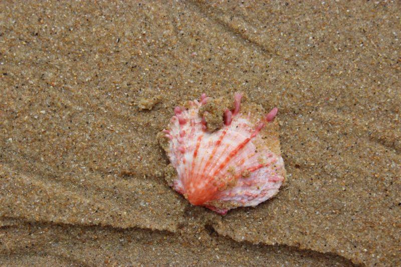 Portuguese Island shell