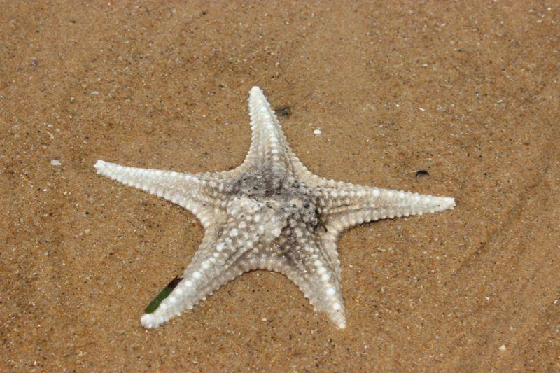 Portuguese Island starfish