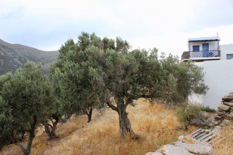olive grove sifnos