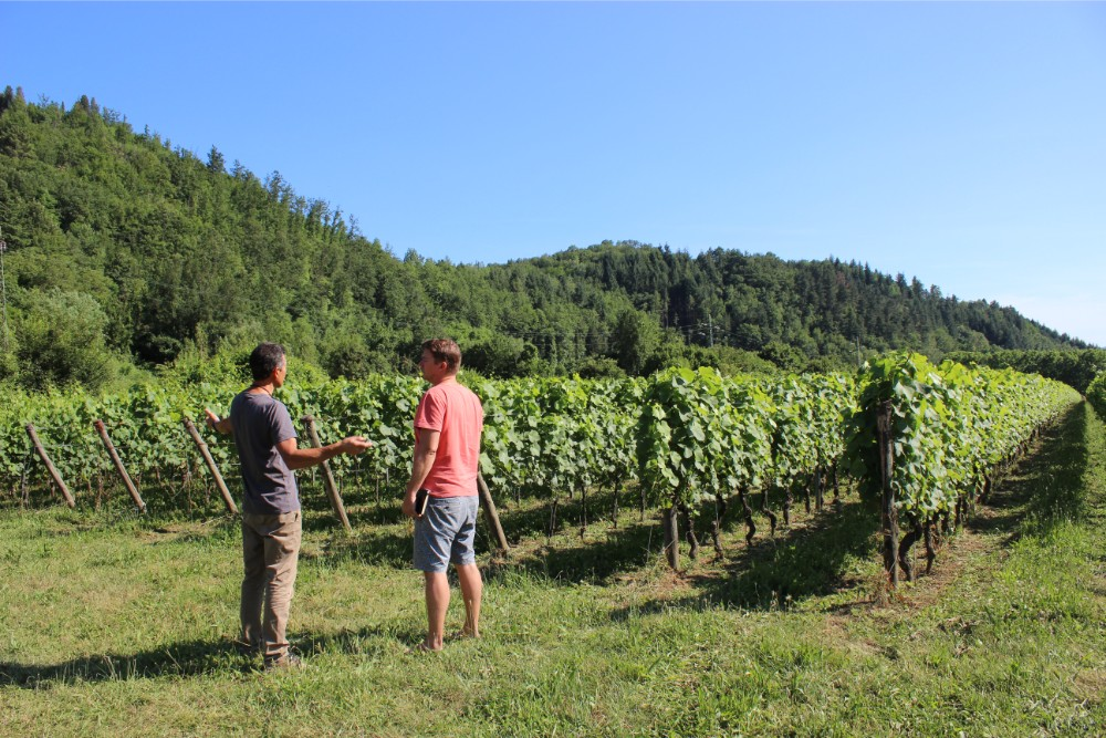 In the vineyards on a sunny day at Castel del Piano