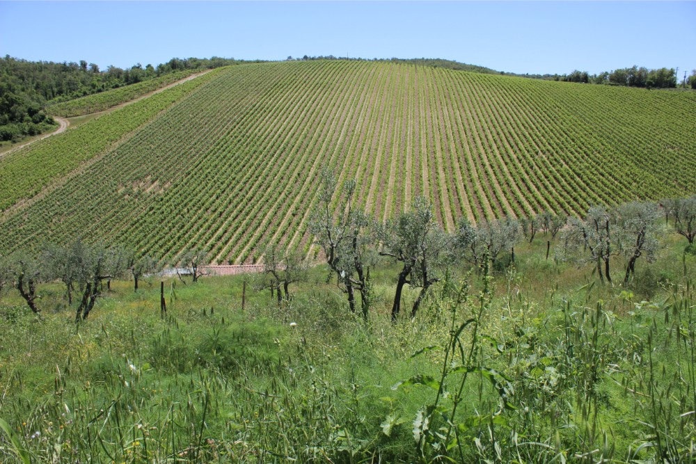 Rows of vineyards at Querceto di Castellina